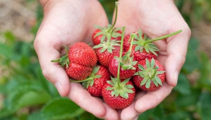 Foto de Más de 100 vacantes para trabajar en el cultivo de la fresa