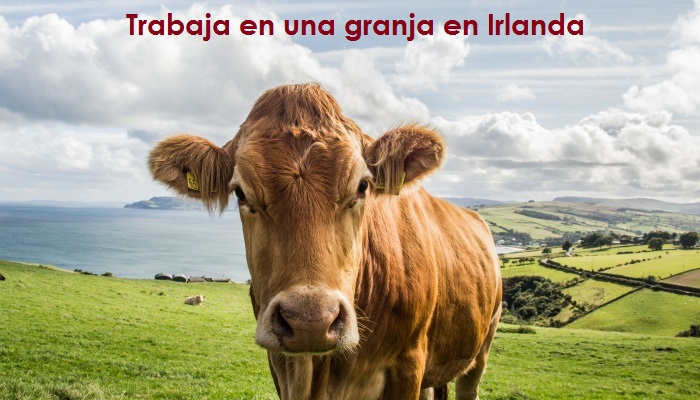 Foto de Trabajar en una granja: cómo ganar hasta 3.000 euros al mes ordeñando vacas en Irlanda